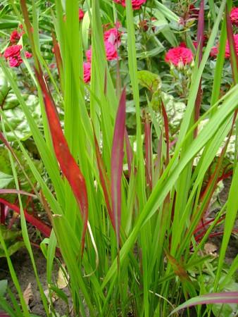 Imperata cylindrica 'Red Baron'.jpg
