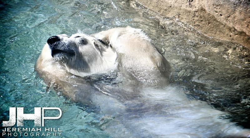 """Toronto Polar Bear #2"", Toronto Zoo, 2013 Print JP13-99-023"