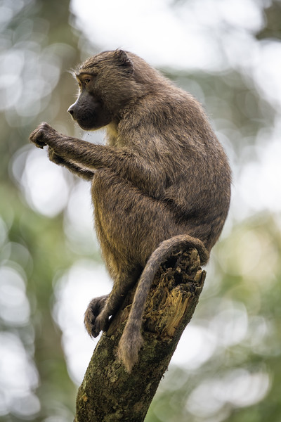 Uganda_T_Chimps-1490.jpg