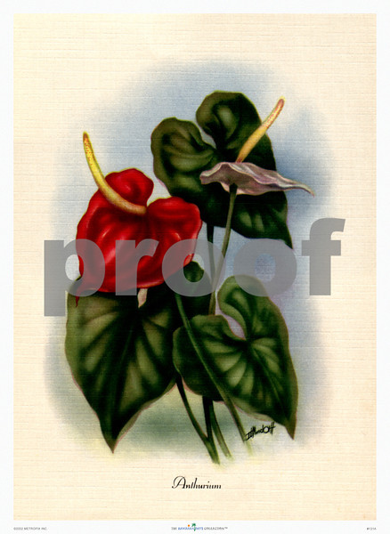 131: 'Anthurium' by Ted Mundorff Floral illustration -- ca 1950. (PROOF watermark will not appear on your print)