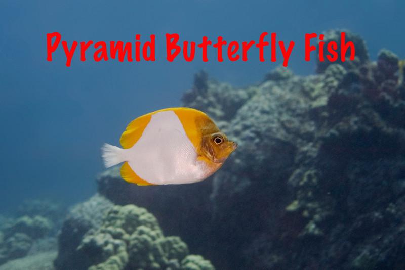 Pyramid Butterfly.jpg
