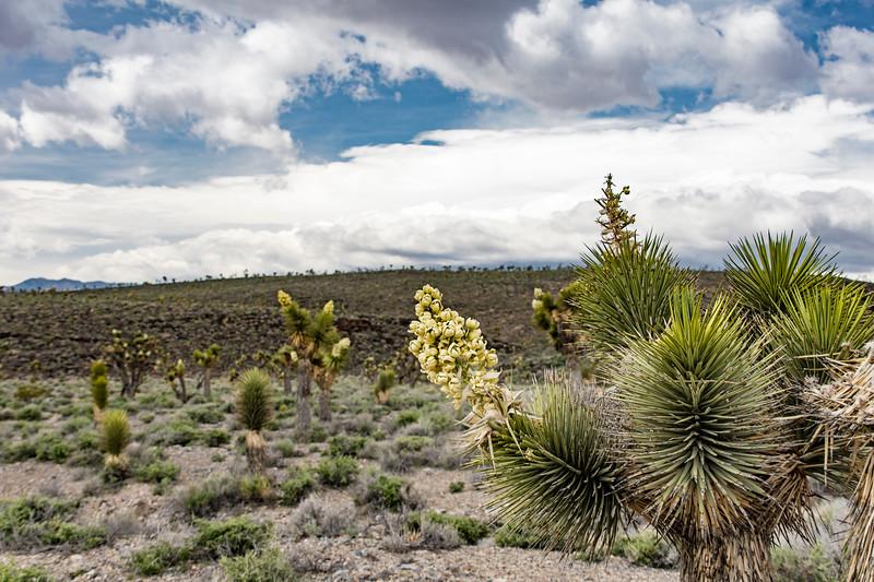 Joshue-trees-flowering-Death-Valley-April2017.jpg