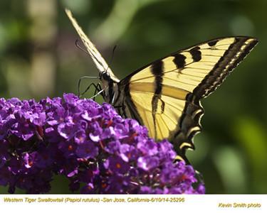 Western Tiger Swallowtail 25296.jpg