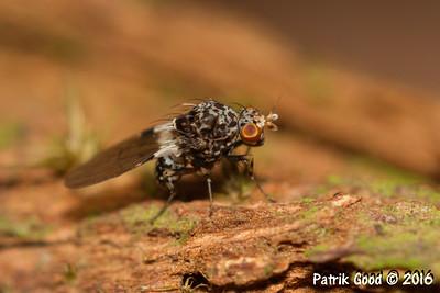 Marbled Gondwana Fly