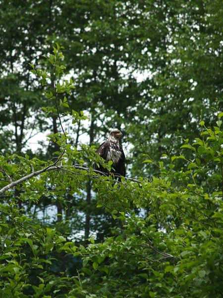 Juvenile eagle (July 2009)
