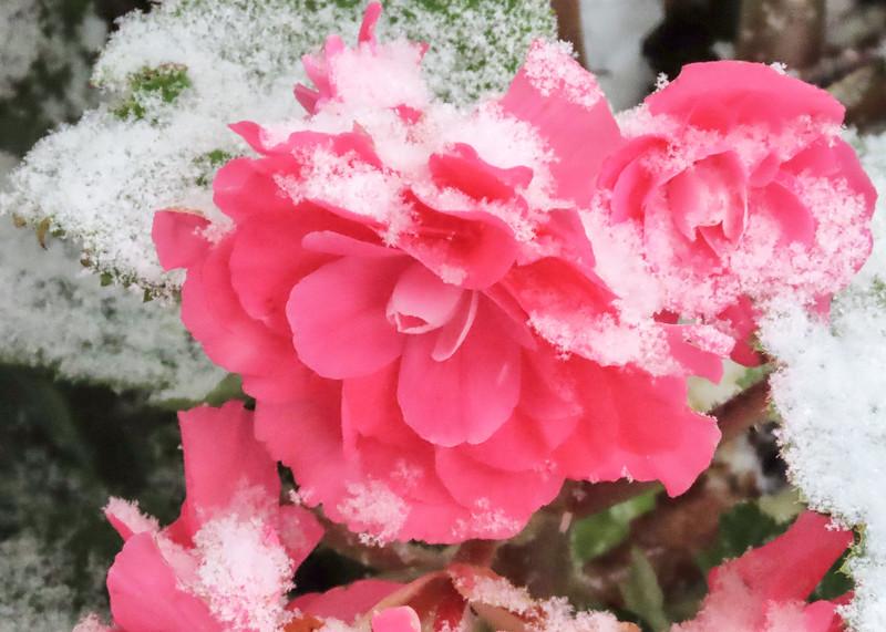 begonia two.jpg