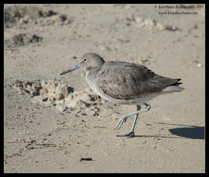 Willet, Coronado Ferry Landing, San Diego County, California, December 2011