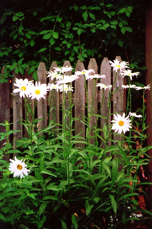 Daisies by the Fence