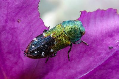 genus Neospades