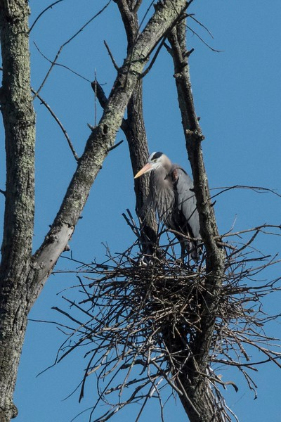 Bedford Herons and Nests