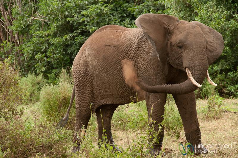 Elephant Sprays Dirt to Cool Off - Lake Manyara, Tanzania