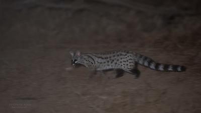Small-spotted Genet (Genetta genetta)