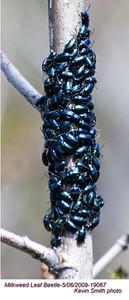 Milkweed Leaf Beetle19067.jpg