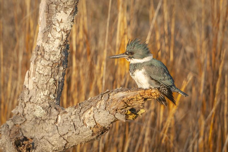 Belted Kingfisher Female Seven.jpg