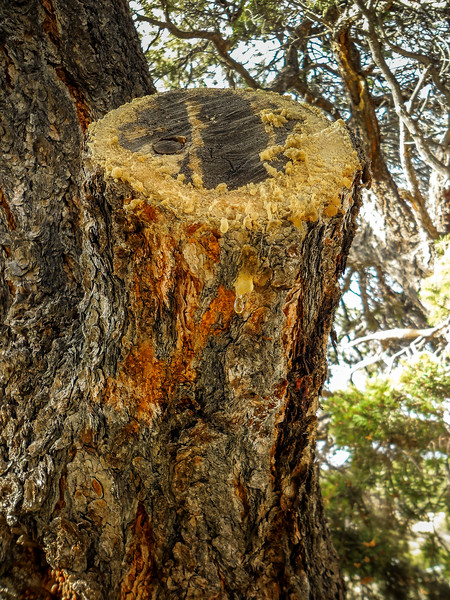 TreeSapFlorissantFossilBedsNationalMonument-002