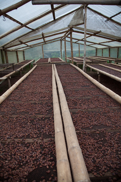 Cocoa beans drying after undergoing fermentation at the chocolate factory in Mindo. www.elquetzaldemindo.com/chocolate/