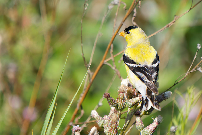 American Goldfinch at Okanagan Lake