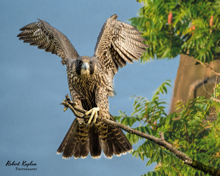 Peregrines-Stateline Cliff-Multiply-8577.jpg