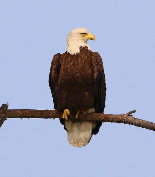 bald eagle york 1_edited-1.jpg
