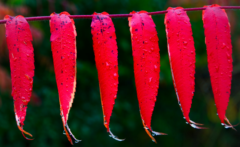 sumacs on a line_Oct 13-09)1-1-Edit.jpg