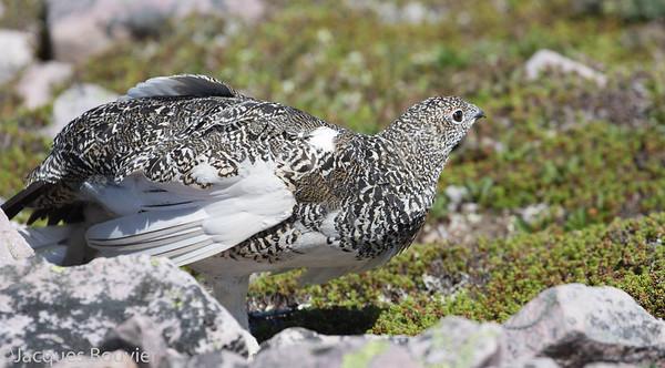Upland Gamebirds - Les oiseaux gibiers