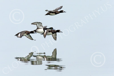 Greater Scaup Wildlife Photography
