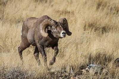 Bighorn Images