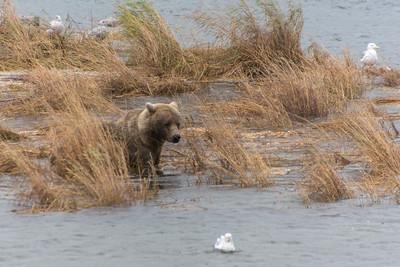 Brown Bears at Brooks Falls in Katmai NP