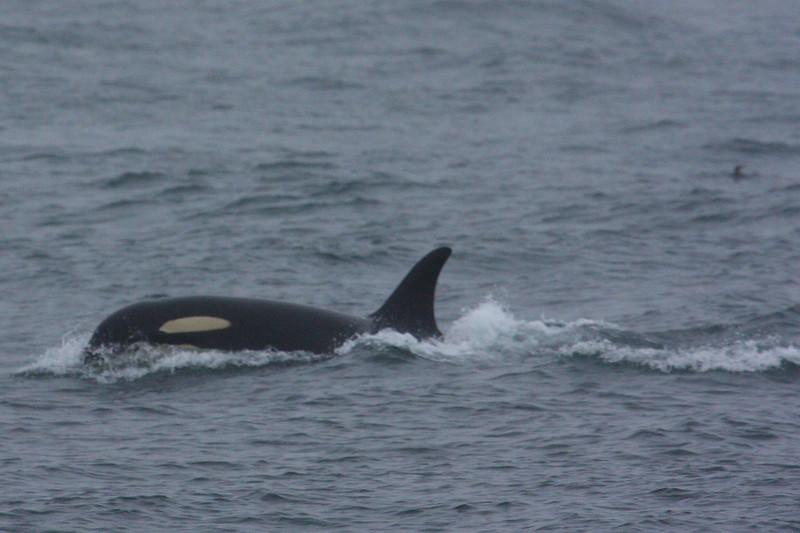 Orcas000015.JPG