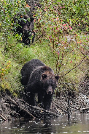 9-16-18 **Grizzly Bears - On The Prowl
