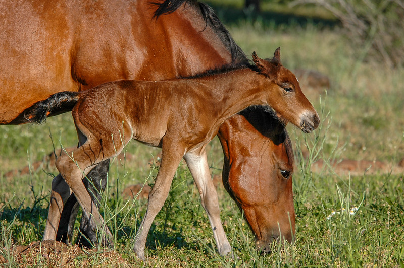 Newborn Wild Horse Foal and Mother #3