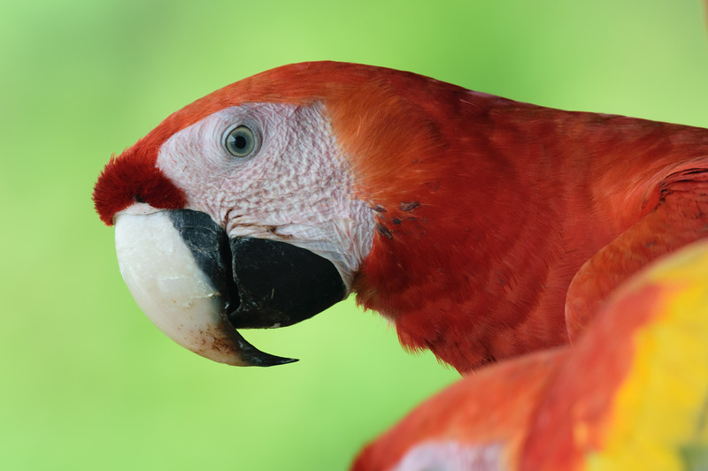 Scarlet Macaws in for their daily feed.