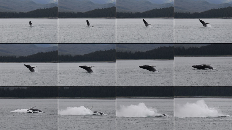 20160717-117collage-WEX-Breaching Whale.jpg