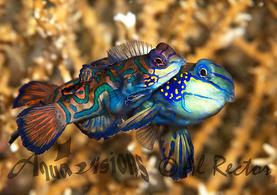 Mandarin Fish and Dragonettes from Indonesia- 2010