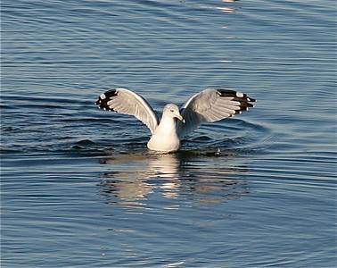 Gull Hunts Crab