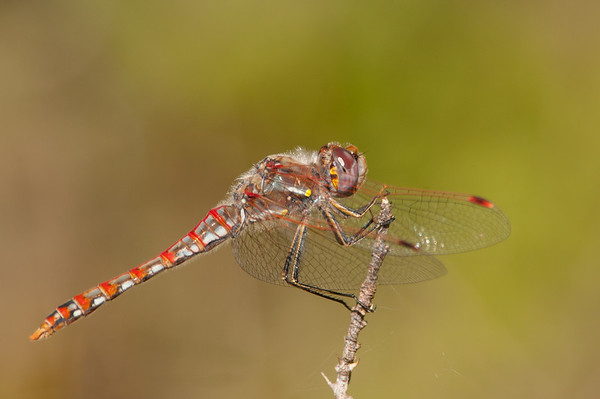 Damsels and Dragonflies