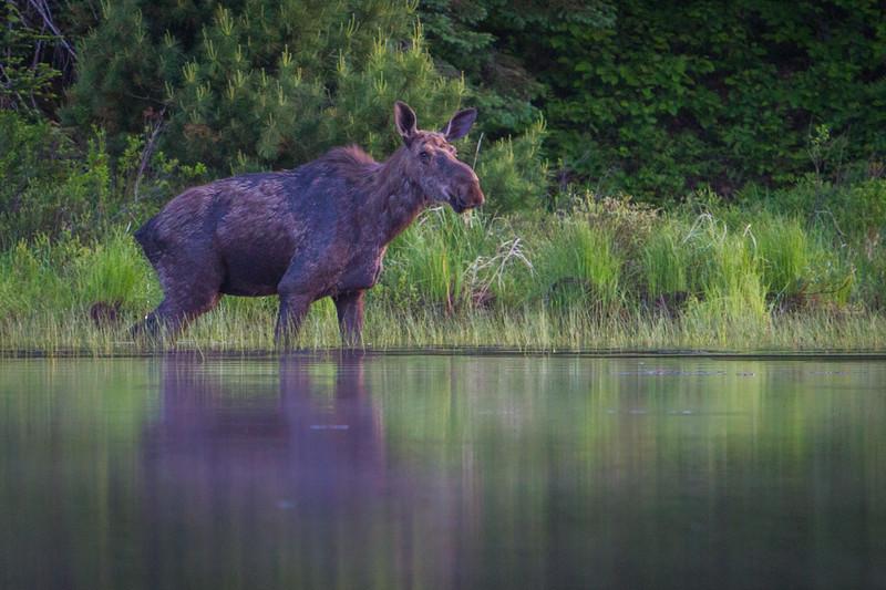 moose-safari-algonquin-park-ontario-35.jpg