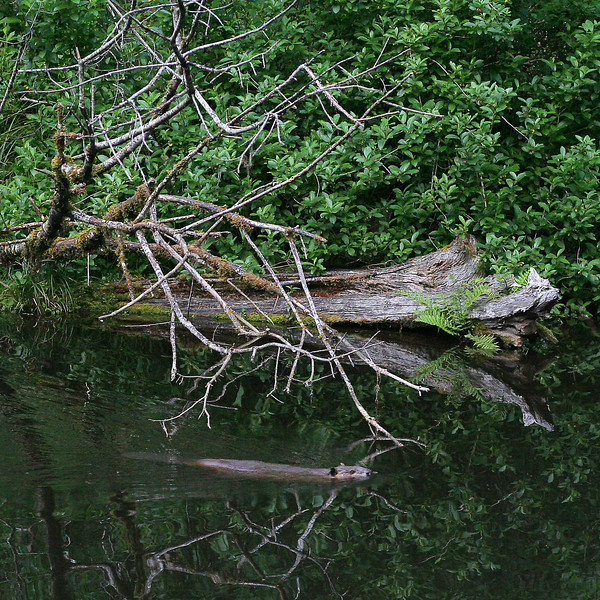 Beaver at upper pond, Bandon Fish Hatchery, Oregon.