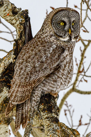3-21-18 Great Gray Owl - In The Trees