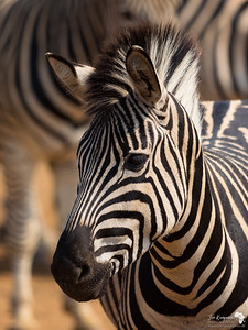 Zebra in the Crowd