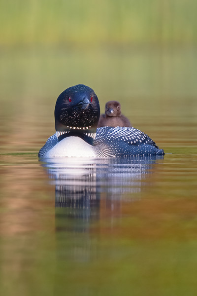 #1689 Common Loon and Chick