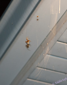 The Arachnids
