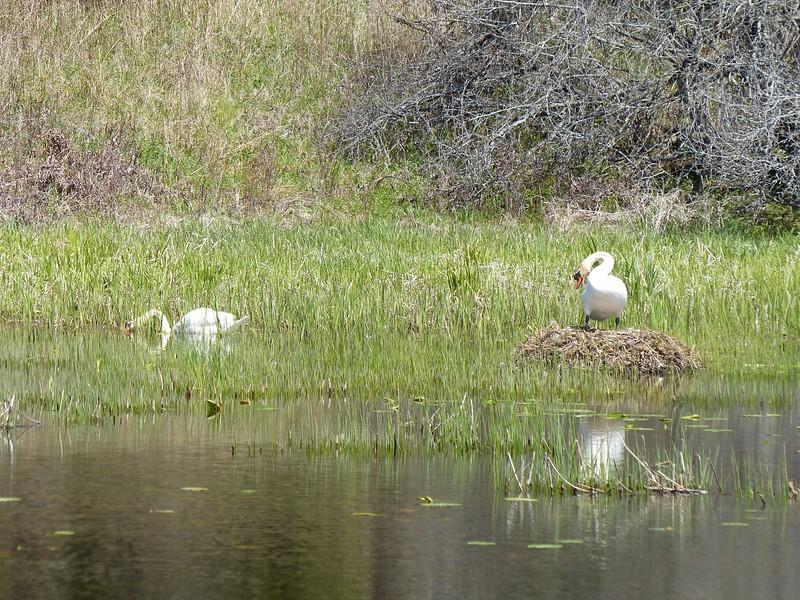 Mute Swan on nest