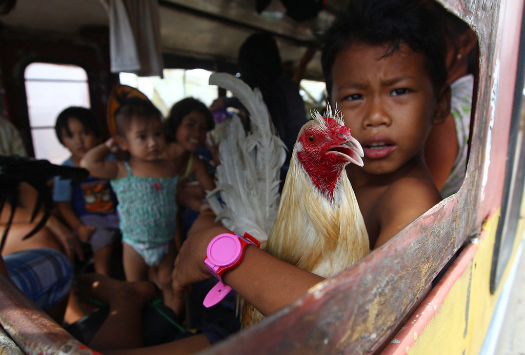 . A boy holds a rooster as he and his family members who are affected by Typhoon Haiyan wait for his bus to leave the city in Tacloban, central Philippines, Wednesday, Nov. 13, 2013. Typhoon Haiyan, one of the strongest storms on record, slammed into six central Philippine islands on Friday leaving a wide swath of destruction. (AP Photo/Dita Alangkara)