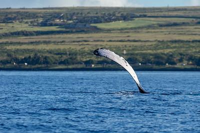 Maui Hawaii Whales 3/19