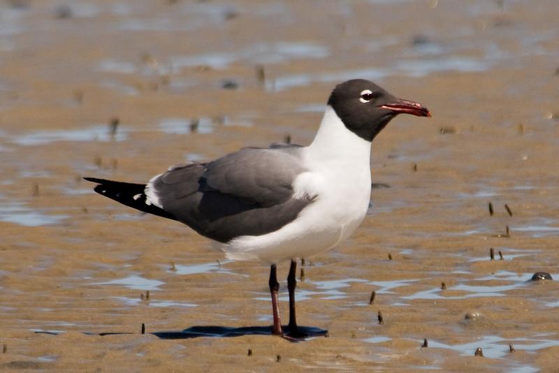 Gull - Laughing - Ocracoke Island, NC - 01