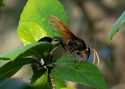 Hawaiian Wasp