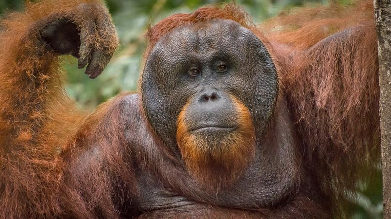 Alpha Male Orangutan
