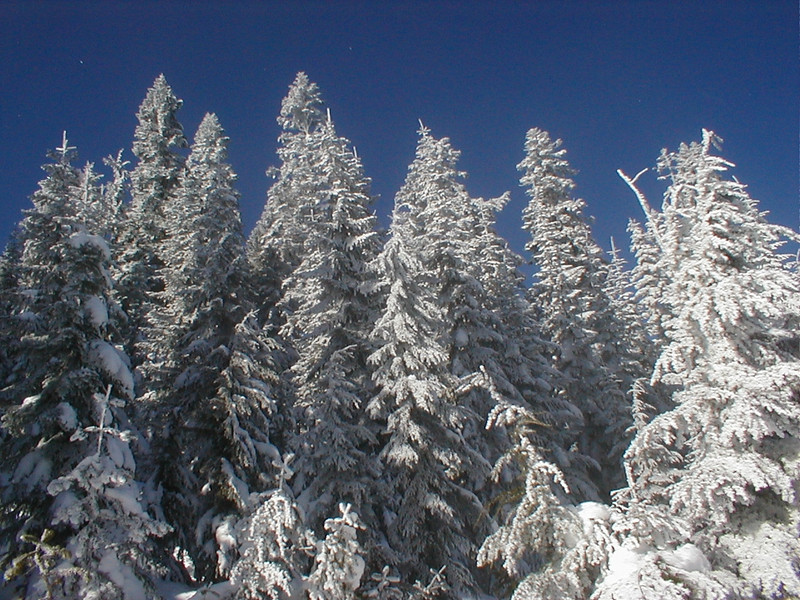 Frosted Pines.jpg