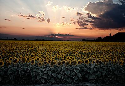 Sunflowers 7-7-11